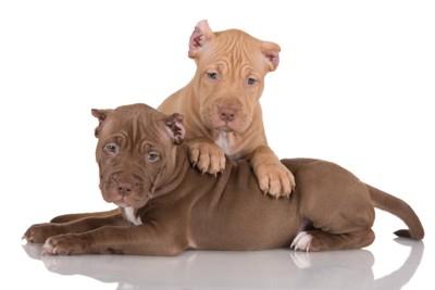 二頭のピットブルの仔犬