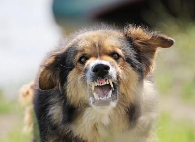 牙をむいて怒っている犬