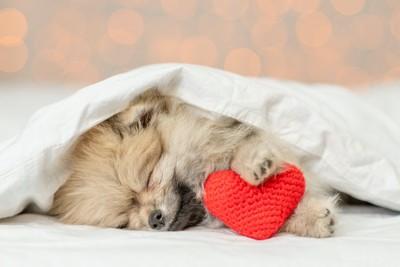 布団をかけてベッドで眠るポメラニアン