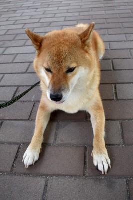 地面に伏せをする柴犬、散歩拒否