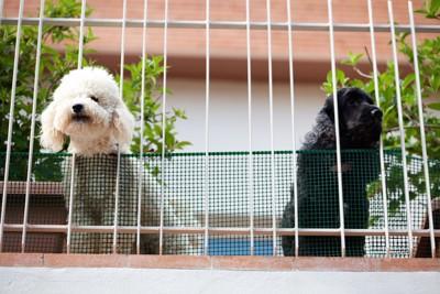 ベランダの隙間から顔を出す白い犬と黒い犬