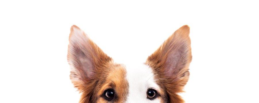 犬の耳アップ