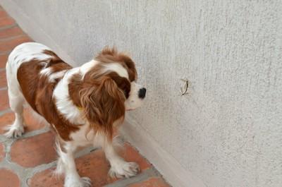 壁に止まって蚊を見る犬