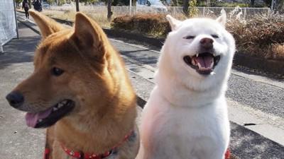 白柴と紀州犬