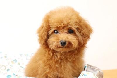 犬用ベッドの中から見つめるトイプードル