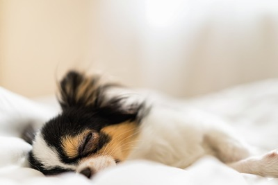 ベッドで気持ちよさそうに眠るチワワ