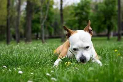 伏せて草を舐めている犬