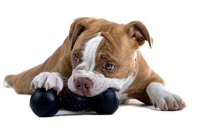 黒いおもちゃを咥えて遊ぶ犬