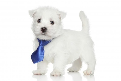 おめかししたウエストハイランドホワイトテリアの子犬