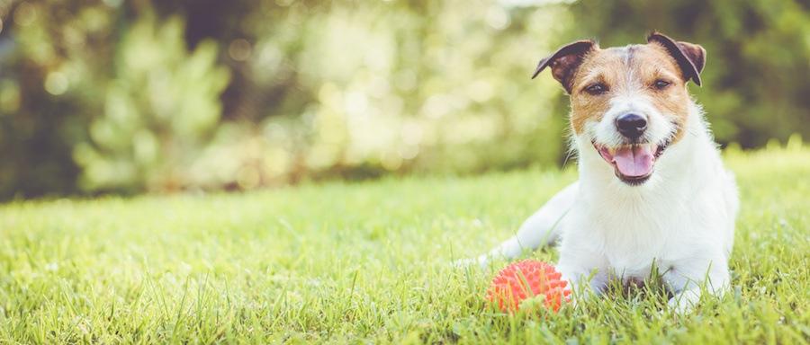 芝生の上で休憩する犬とボール