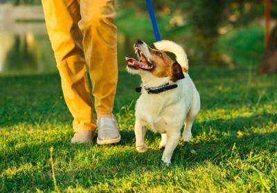 散歩中に飼い主を見つめる犬