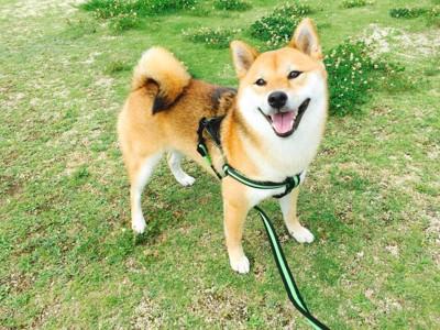 シロツメクサと笑顔の柴犬