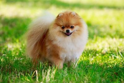 芝生に立つ笑顔のポメラニアン
