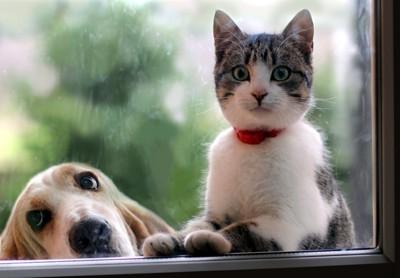 バセット・ハウンドと猫
