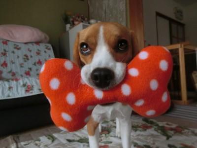 おもちゃをくわえた愛犬