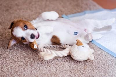 おもちゃで遊ぶ犬