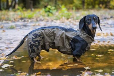 つなぎのレインコートを着ているダックスフンド