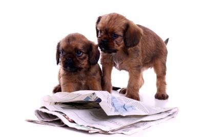 子犬と新聞