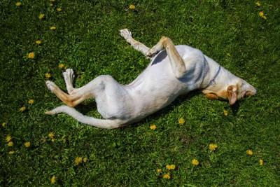 草原で寝転ぶ犬