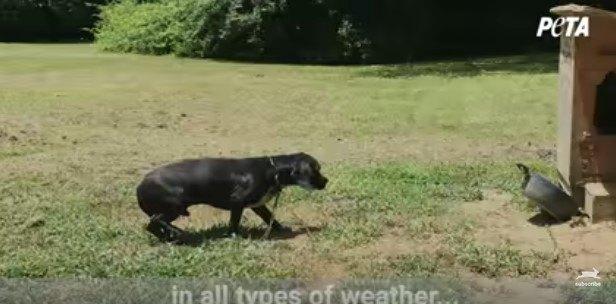 鎖につながれた犬