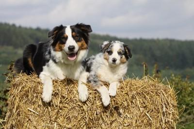 羊を誘導する犬