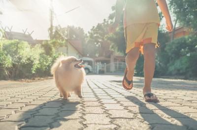 お散歩するポメラニアン