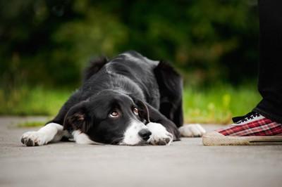 フセの姿勢で見上げる犬