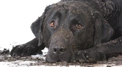 泥だらけで伏せる黒い犬