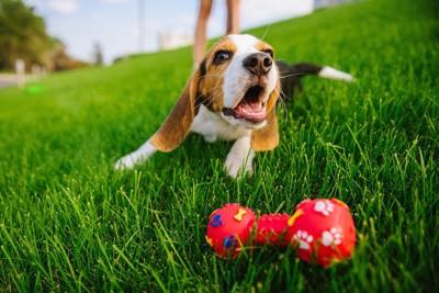 芝生の上でおもちゃで遊ぶ犬