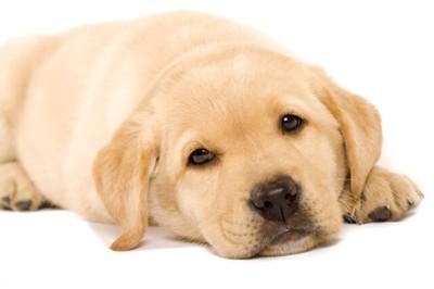 寝転ぶラブラドールレトリバーの子犬