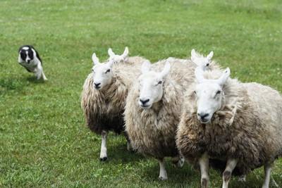 牧羊犬として働くボーダーコリー