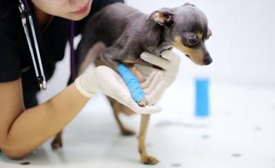 足を怪我して病院で処置を受ける犬
