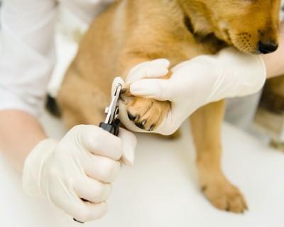 白い手袋をした爪切りをする獣医さんと犬
