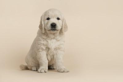 お座りしているゴールデンの子犬