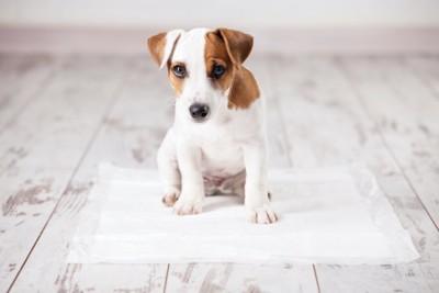 ペットシーツの上に座っている子犬