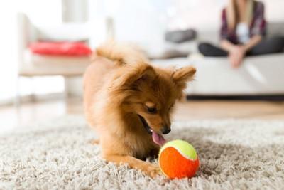 ボールで遊ぶポメラニアンをソファーで見守る飼い主