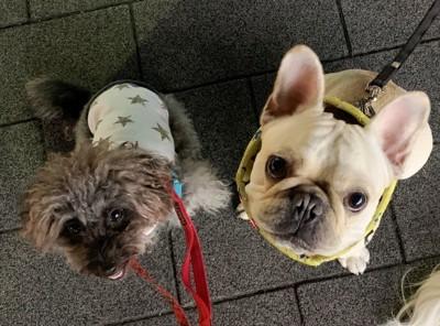 お散歩中のエマさんとフレブルちゃん