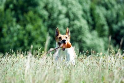 コングで遊ぶ犬