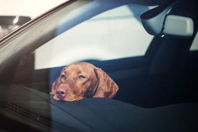 車で留守番をする犬