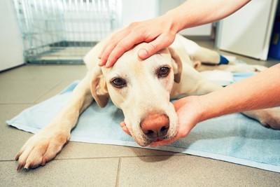 タオルの上で撫でられている保護された犬
