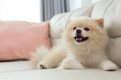ソファーで笑顔のような表情をする犬