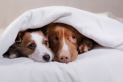 毛布にくるまる2匹の犬