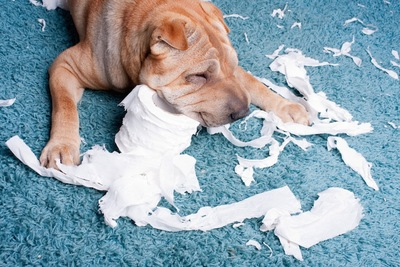 トイレットペーパーをイタズラする犬