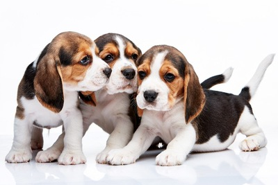 ビーグルの子犬3頭