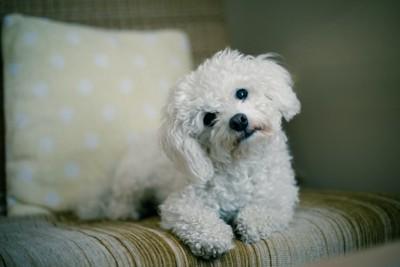 ソファーの上で顔を傾ける犬