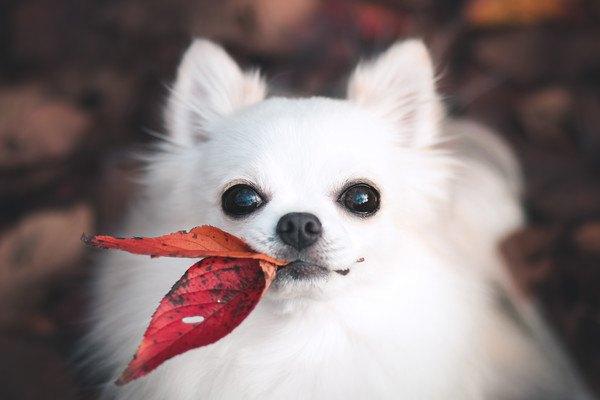 落ち葉をくわえている犬