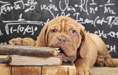 机の上で本をくわえている子犬