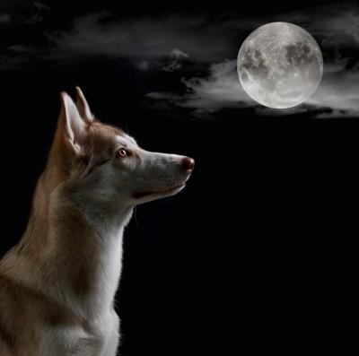 満月を見つめるハスキー犬