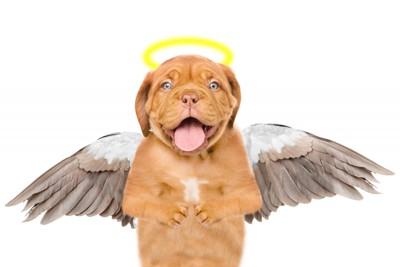 天使になったブルドック