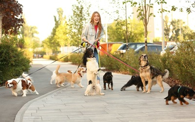 複数の犬の散歩をする女性